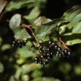Крушина и лечебные свойства коры крушины