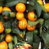 Купить цитрусовое дерево в москве