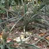 Куст ананаса фото ню