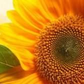 Лечение желтым цветом
