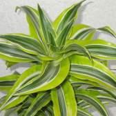 Миниатюрная пальма — драцена деремская