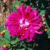 Моховые розы (moss)