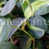 На фото филодендрон лазящий демонстрирует свои темно-зеленые, блестящие листья сердцевидной формы.