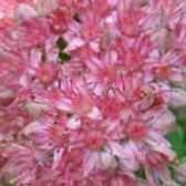 Очиток большой заячья капуста маринованная