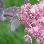 Очиток период цветения