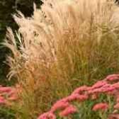 Очиток сорняк зерновых