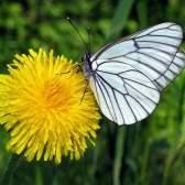 Одуванчик интересная информация о любимом цветке