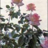 Оформление комнат и балконов розами (часть 2)