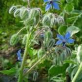 Огуречная трава (бораго): полезные свойства, фото, применение