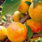 Описание сортов плодовых деревьев