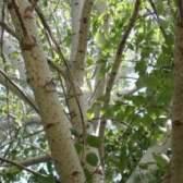 Осина, лечебные свойства осины