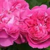 Особенности цветения разных групп роз
