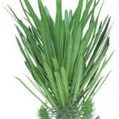Пахиподиум - мадагаскарская пальма