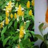 Пахистахис желтый уход