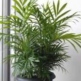Уход за пальмой хамедореей