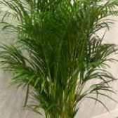 Пальма хризалидокарпус арека уход