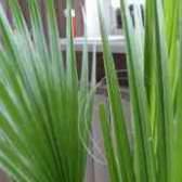 Пальма вашингтония из семян фото девушек