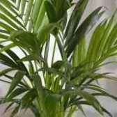 Пальма вашингтония как ухаживать