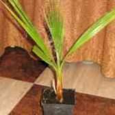 Пальма вашингтония робуста из семян