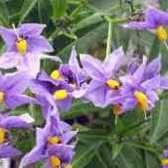 Паслен цветет но не плодоносить