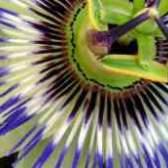 Пассифлора размножение семенами кунжута