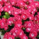 Пеларгония крупноцветковая фото