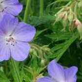 Пеларгония луговая geranium geranium pratense