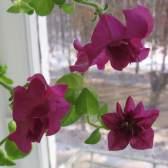 Петуния зимой: как сохранить петунию до весны