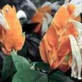Почему скручиваются листья у пахистахиса
