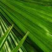 Почему желтеет пальма юкка уход