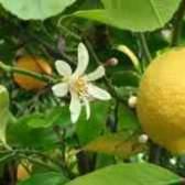 Почему желтеют листья у лимона по краям