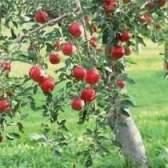 Посадка плодовых деревьев на участке