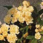Разновидности и гибриды розы лютеа (r. Lutea mill. = r. Foetida herrm.)