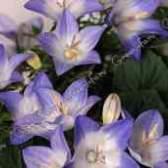Садовые колокольчики многолетники фото