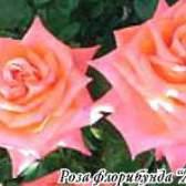 Селекция роз, из истории (часть 5)