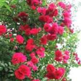 Селекция роз, из истории