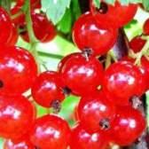 Смородина красная и ее лечебные свойства