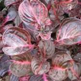 Солнцелюбивое растение ирезина
