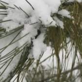 Сосна сибирская или кедр сибирский