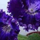 Стрептокарпус рюшелье фото описание
