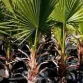 Вашингтония нитчатая выращивание из семян фото