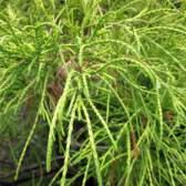Вечнозелёный и декоративный кипарисовик горохоплодный