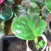 Видео выращивание сенполий