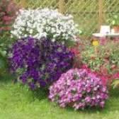 Выращивание петунии: тонкости и секреты