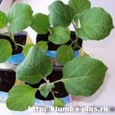 Выращивание рассады баклажан
