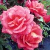 Выращивание роз в контейнере