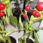 Выращивание сладкого перца на подоконнике