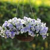 Выращивание виолы на балконе и в саду: важные правила ухода