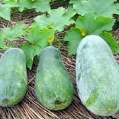 Выращивание восковой тыквы