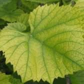 Железный хлороз растений: все способы борьбы с недостатком железа